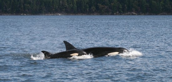Steveston Seabreeze Adventures & Whale Watching: Orca whale watching Aug 2013 - near Valdez Island