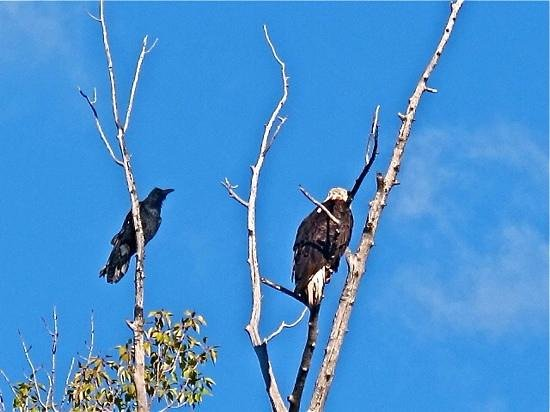 Jackson Hole Eco Tour Adventures: raven and bald eagle