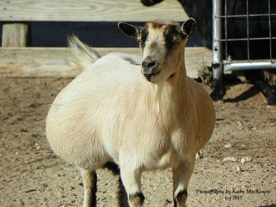 Silver Spur Ranch: Well Fed Goat