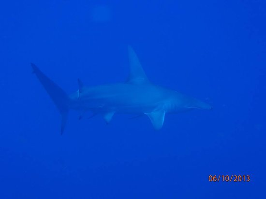 Wall to Wall Diving: 8' Hammerhead shark - North Wall, Big Billie's