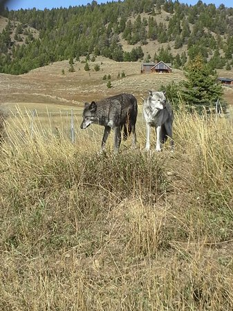 Howlers Inn Bed & Breakfast and Wolf Sanctuary: Two of the wolves of Howlers Inn