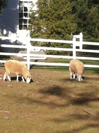 Ash Mill Farm : Sheep in front of the house