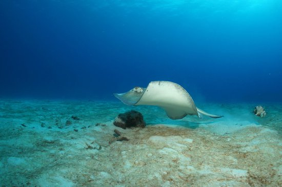 Grand Sirenis Riviera Maya Resort & Spa : Eagle Ray - Underwater Technical World