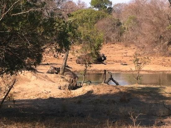 Monwana Game Lodge: buffalo visiting the lodge watering hole