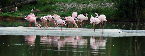 Zoo Duisburg: Flamingo