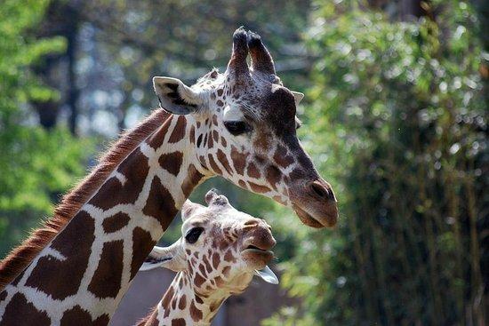 Zoo Duisburg: Giraffe