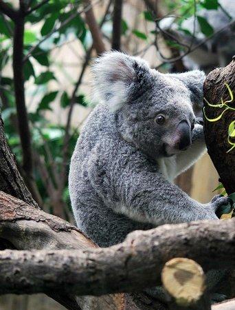 Zoo Duisburg: Koala