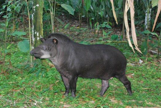 La CasaBlanca: Tapir