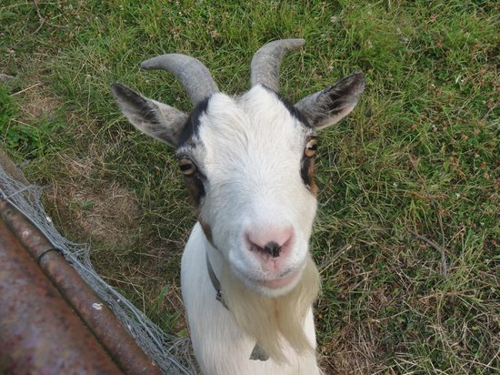 Manoir des Doyens: Goat