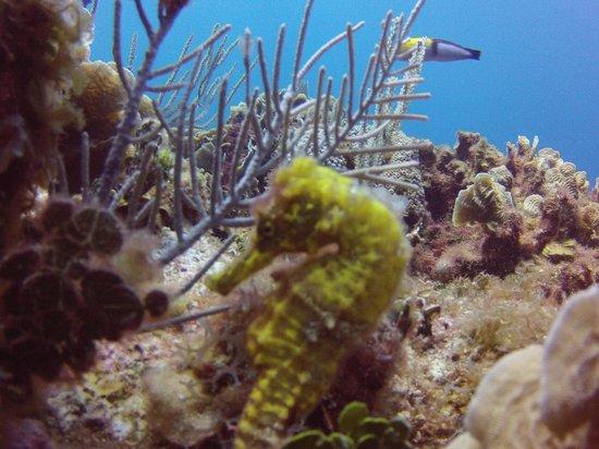Reef House Resort : more seahorses