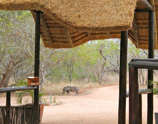 Thornhill Safari Lodge: Visitor to the lodge