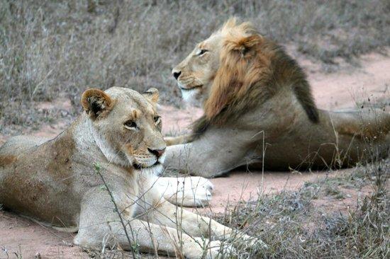Thornhill Safari Lodge: Lions