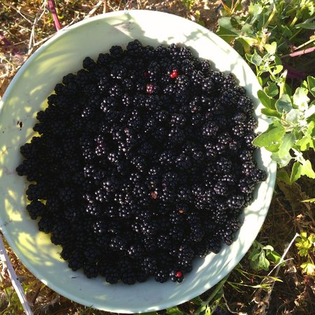 La Grappille : Blackberries from the brambles next to the donkey enclosure.