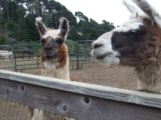 Stanford Inn by the Sea: Visiting the llamas
