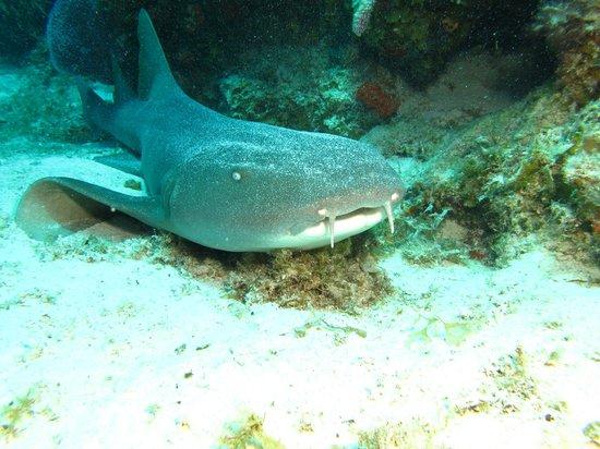Careyitos Advanced Divers: Nurse Shark taking a nap