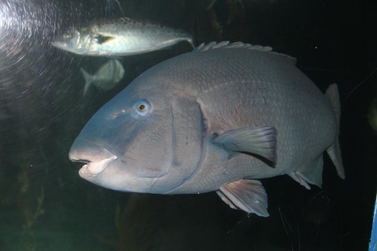 Merimbula Aquarium and Wharf Restaurant: Bluey the Grouper