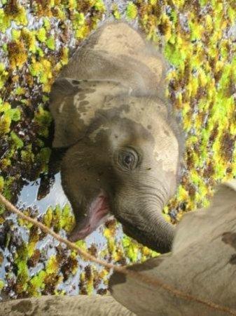 Sayaboury, Лаос: Gorgeous baby elephant