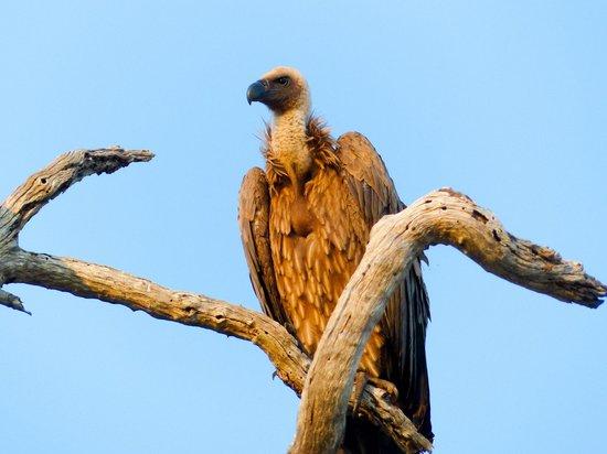 andBeyond Kirkman's Kamp: Vulture