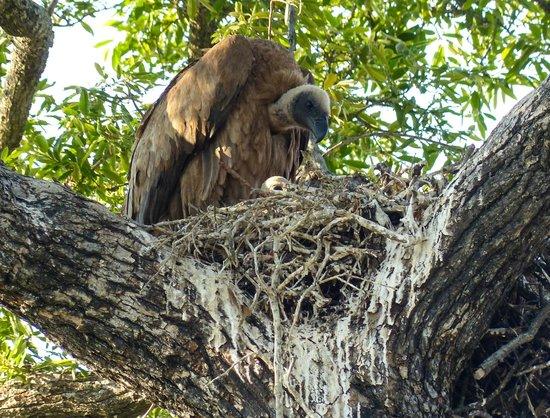 andBeyond Kirkman's Kamp: Vulture and Chick
