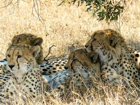 andBeyond Kirkman's Kamp: Cheetah family