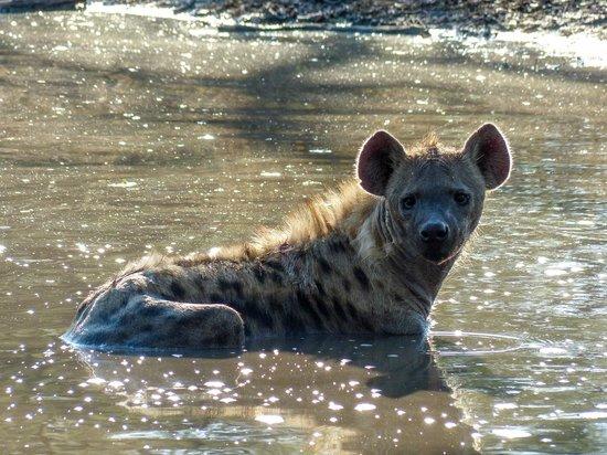 andBeyond Kirkman's Kamp: Hyena