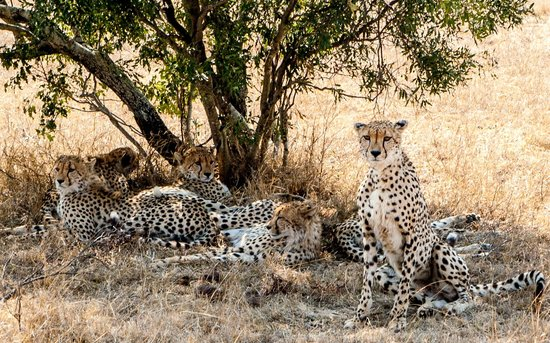 andBeyond Phinda Forest Lodge: Cheetah family