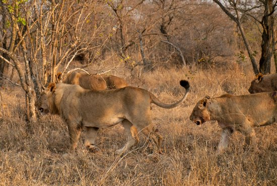 andBeyond Phinda Forest Lodge: Lions on the move