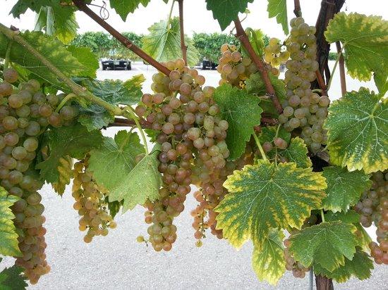 Reif Estate Winery: tour- vinyard