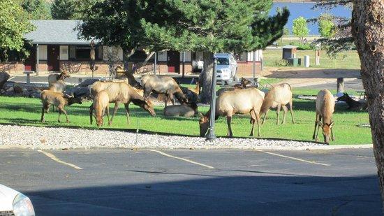Murphy's Resort at Estes Park: Elk grazing outside our room at Murphy's Resort, Estes Park