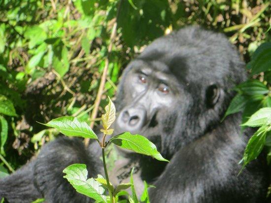 Gorilla i Bwindi Impenetrable National Park, Uganda.