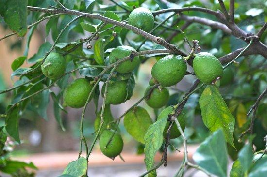 Capri Wine Hotel: Lemons in the garden