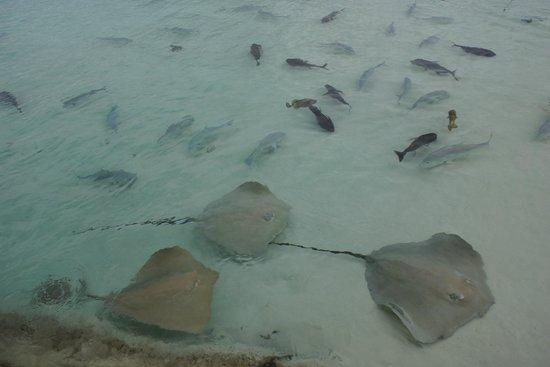 Jumeirah Vittaveli: Fish feeding