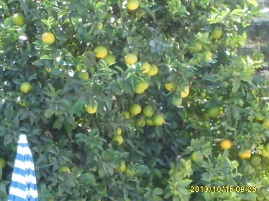 Almond Holiday Village: One of the lovely orange tree's