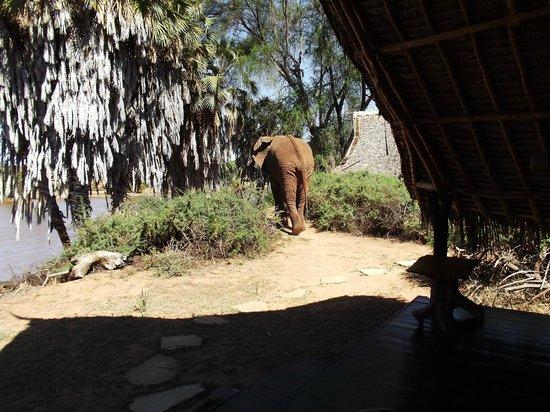 Galdessa Camp: l'elefante