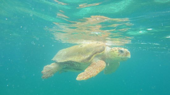 Hatchet Caye Resort: Swimming turtle