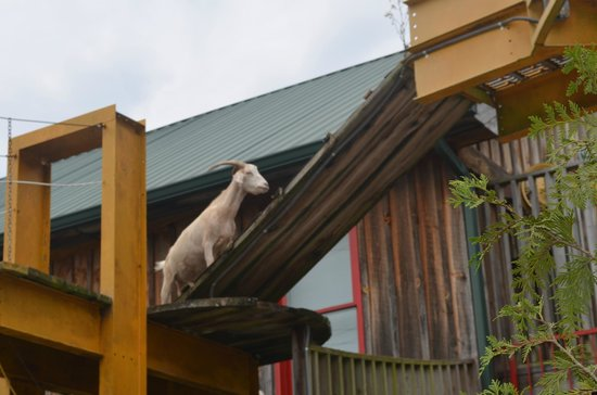 Goats on the Roof: Climbing the ramp