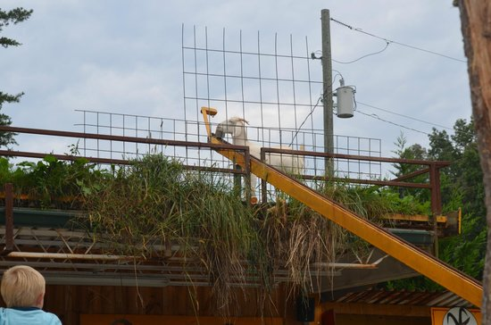Goats on the Roof: Eating a treat