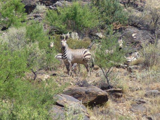 Leopard Lodge : Bergzebras