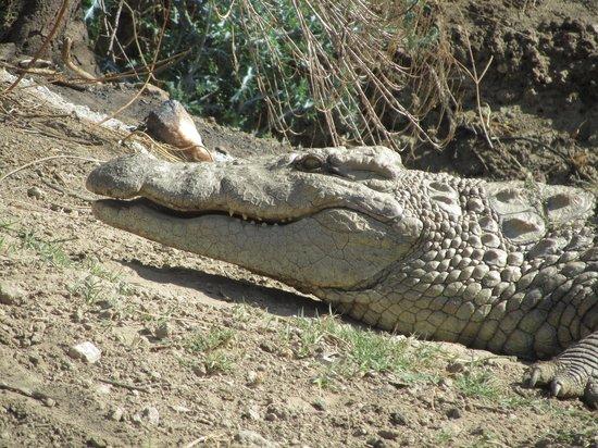 Leopard Lodge : Krokodil
