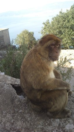 Muthu Grangefield Oasis Club: one of the apes gibraltar