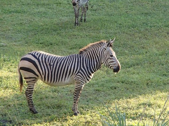 Disney's Animal Kingdom Villas - Kidani Village: Zebras outside room.