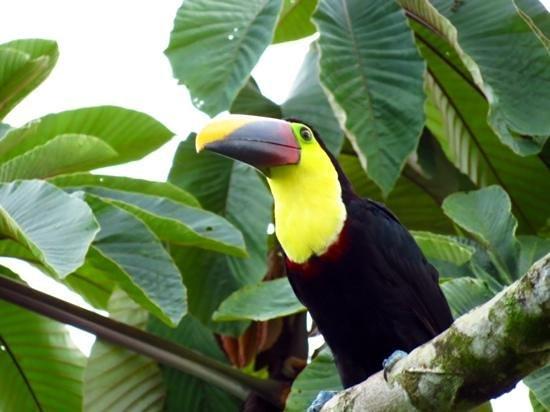 Hotel Campo Verde: Tukan im Baum vor unserem Zimmer