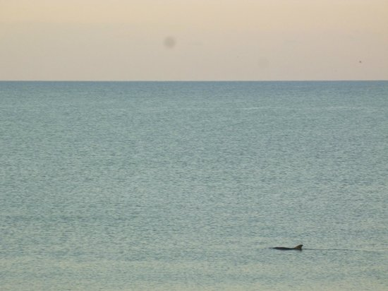 Sandpiper Gulf Resort: Dolphins in front of Sandpiper, as viewed from our balcony