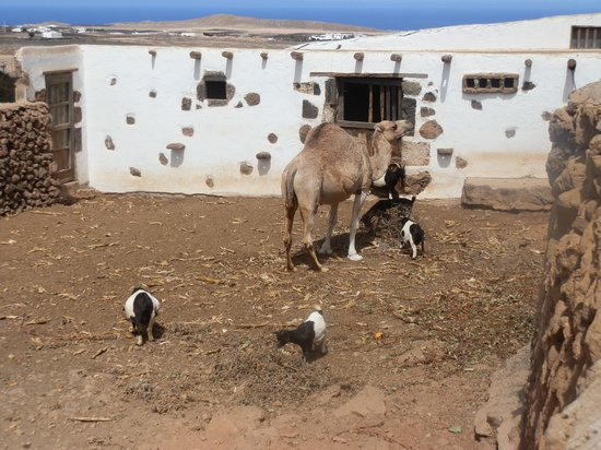 Museo Agricola el Patio : Camels Goats and chickens all living happily together