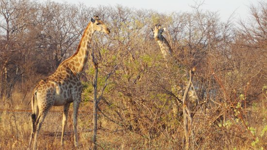 Elephant's Eye, Hwange: giraffe