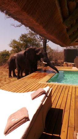 Leopard Hills Private Game Reserve: A trunk in my pool!