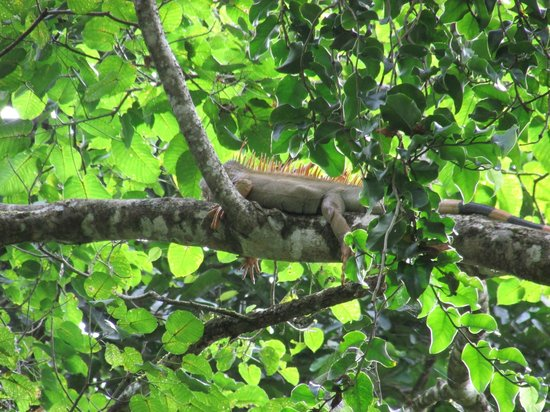 Korrigan Lodge: Iguana in a tree on the property