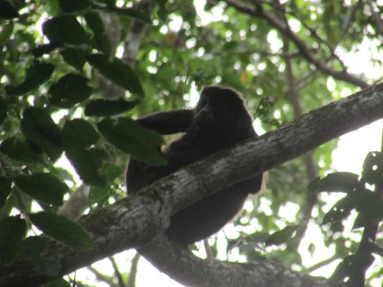 Korrigan Lodge: Howler monkey above our room