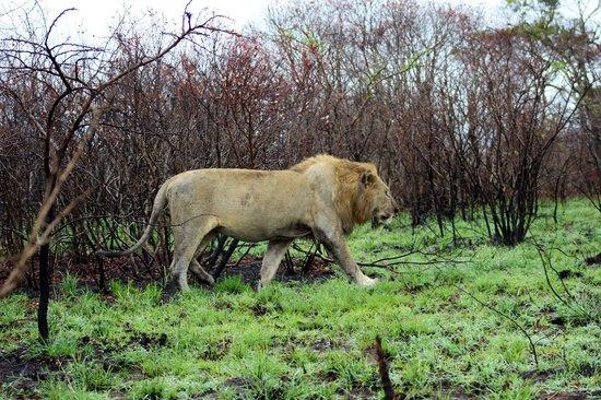 Heritage Tours & Safaris: Lion