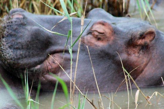 Shoreline Hippo and Croc Cruises: hippo resting